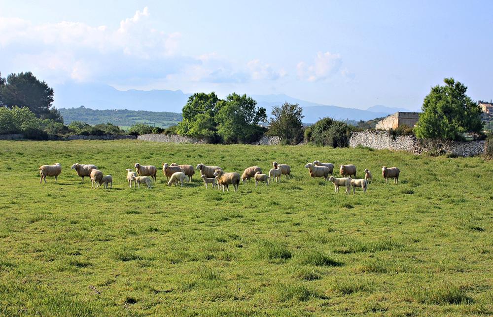 Exportadores de ganado ovino español