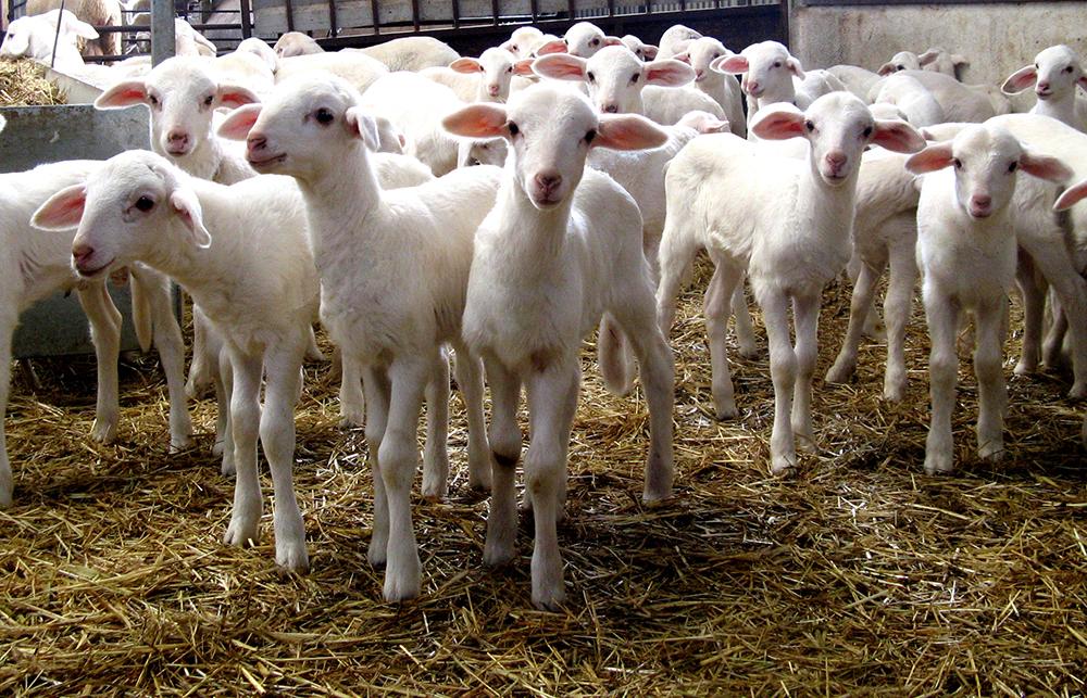 Ganado ovino español