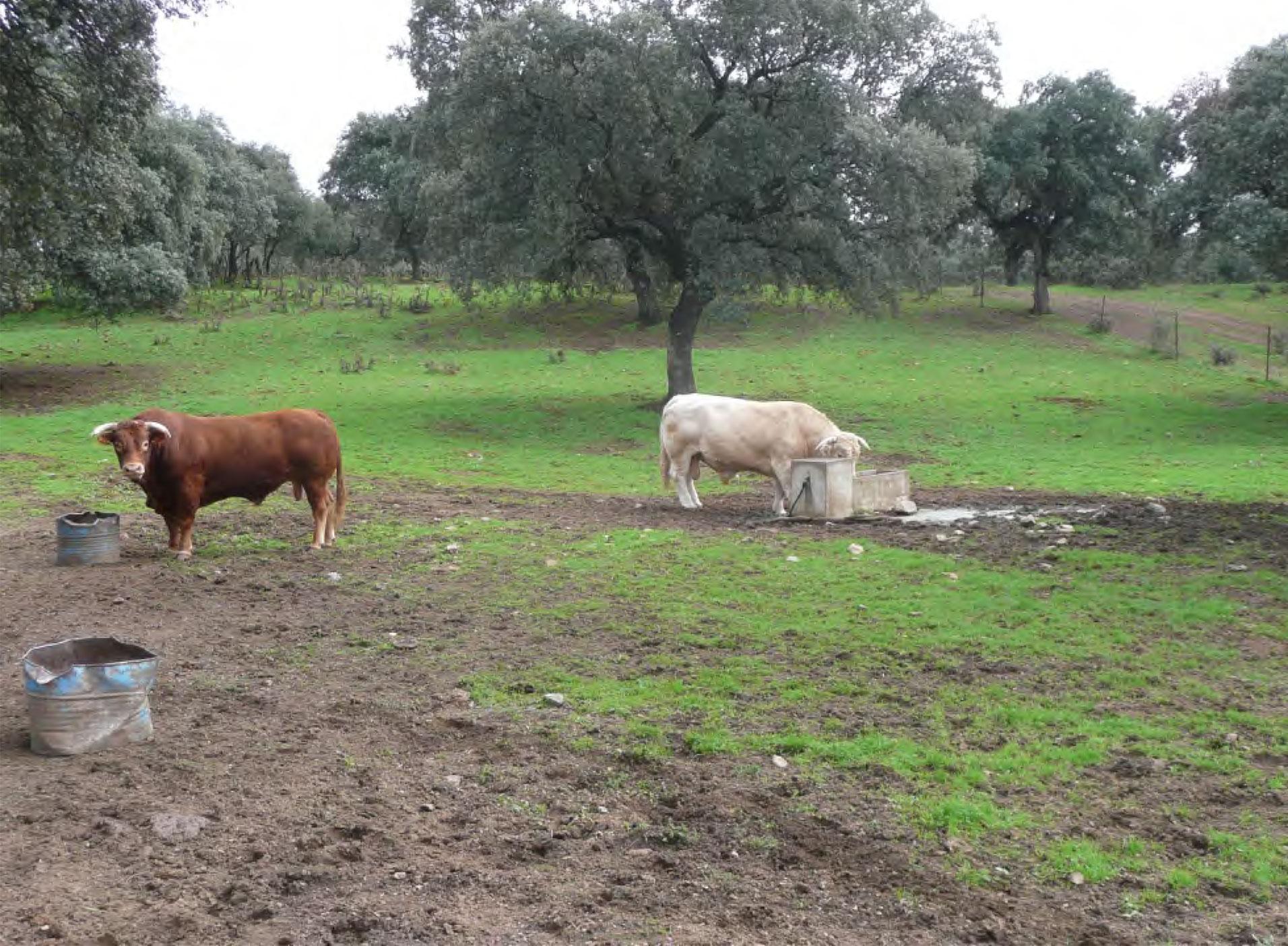 Exportadores de ganado vacuno de España
