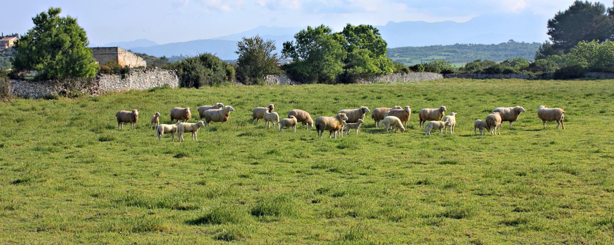 Esportadores de ganado desde España